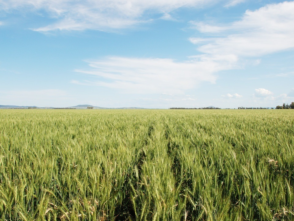 Wheat Orana